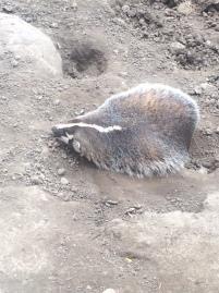 Wisconsin's badger