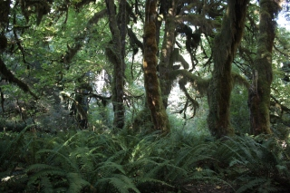 Ferns and moss covered trees