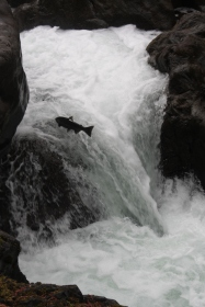 A big leap for the salmon