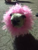 Pug sporting a tu-tu